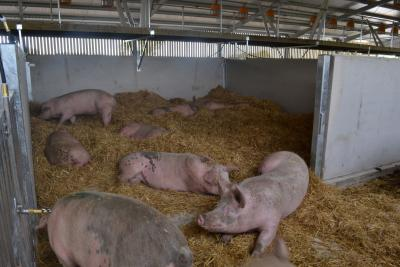 pigs on straw