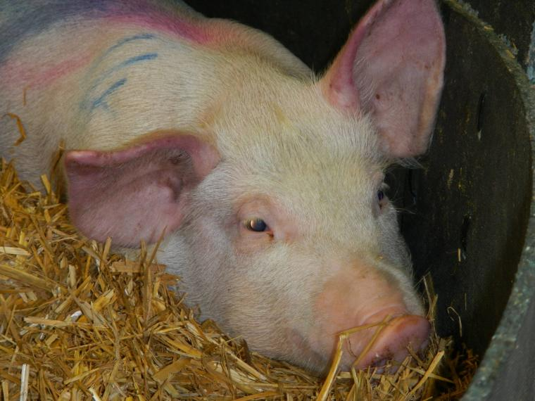 African swine fever symptoms